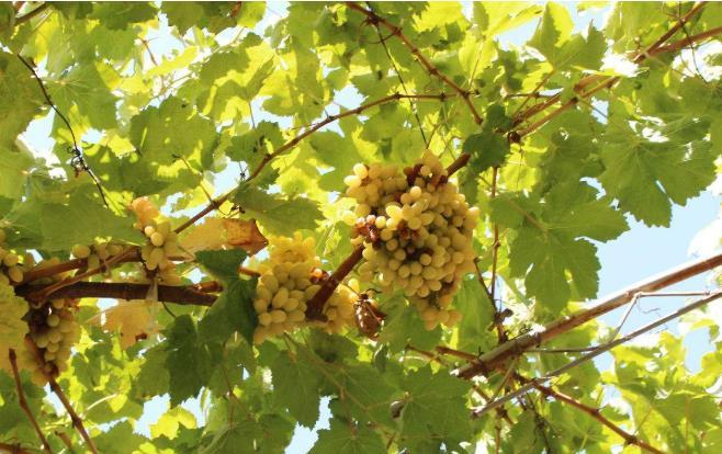 树上的敦煌葡萄